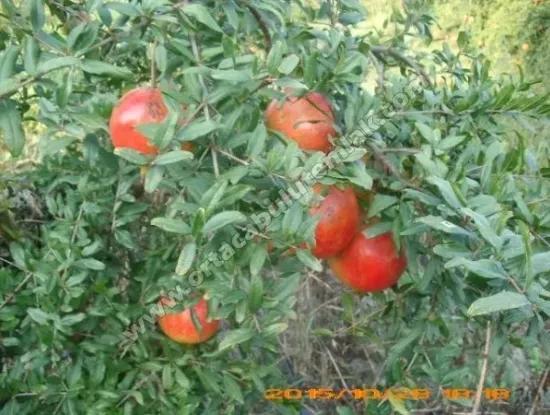 Granatapfel-Garten 10500 M2 Zum Verkauf Muğla Morphou Du Bist Männlich Oriya
